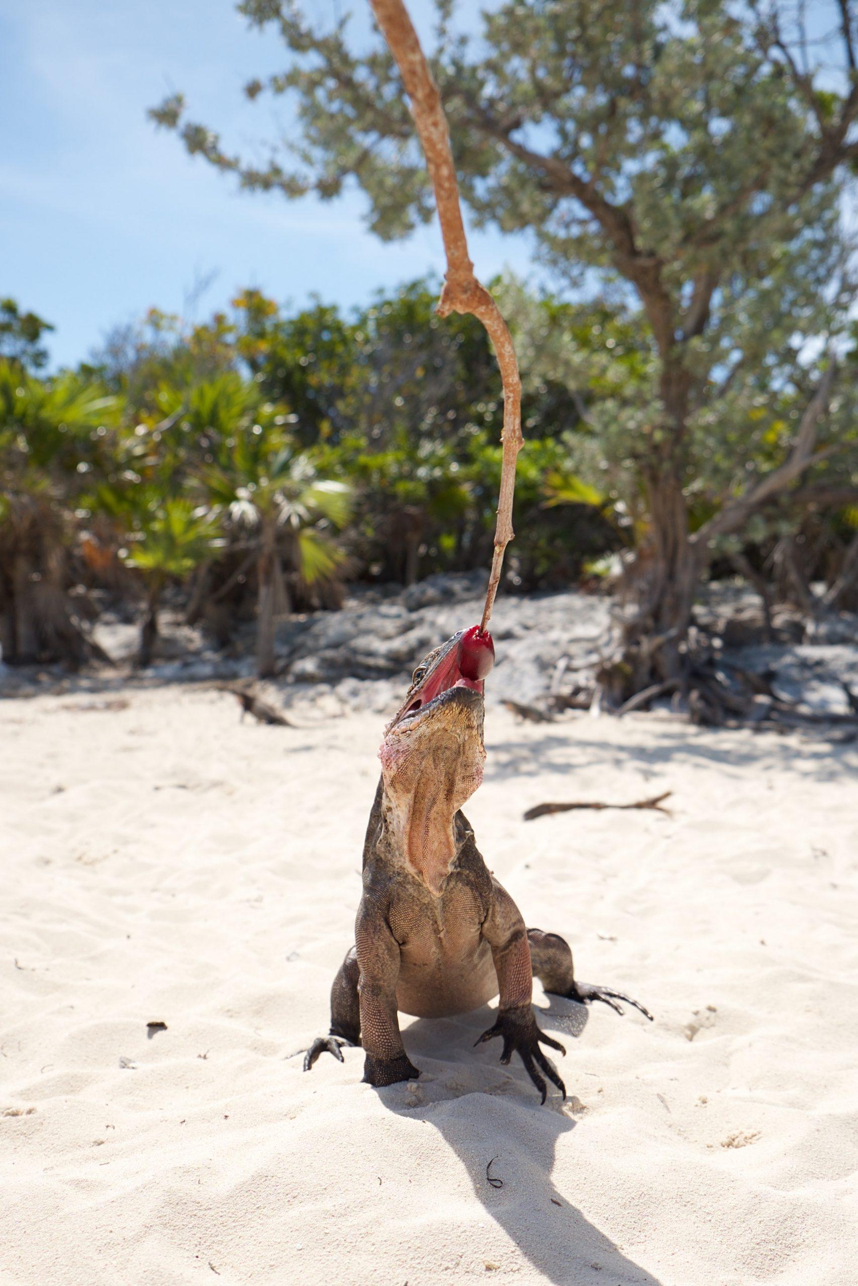Iguanas at Allens Cay